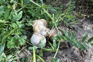 Gården - snegle